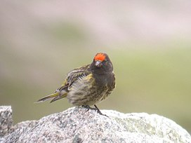 Fire-fronted Serin.jpg