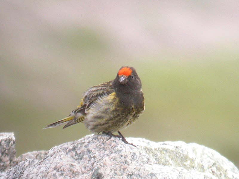 File:Fire-fronted Serin.jpg