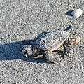 First steps of hatchling of loggerhead sea turtle (Caretta caretta) running to sea - 02.jpg