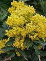 Fleurs de mahonia.jpg