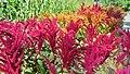 Fleurs flamboyantes au Jardin Botanique. Colored flames Botanical Garden Montréal - panoramio.jpg