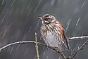 Flickr - Rainbirder - Redwing (Turdus iliacus) in the rain.jpg