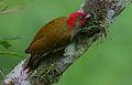 Flickr - Rainbirder - Rufous-winged Woodpecker (Piculus simplex).jpg