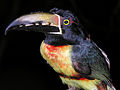 Flickr - archer10 (Dennis) - Belize-0924 - Toucan.jpg