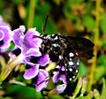 Flickr - aussiegall - Female Cloak ^ Dagger Cuckoo Bee.jpg