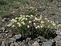 Flickr - brewbooks - Eriogonum compositum (I think).jpg