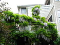 Flickr - brewbooks - Our deck is supported by hanging wisteria.jpg
