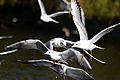 Flickr - law keven - A Stack of Seagulls....jpg