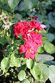 Flora of Israel IMG 1690 (11772732686).jpg