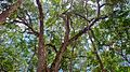 Floresta proximo a cachoeira da onça Presidente Figueiredo Amazonas Brasil.jpg