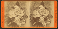 Florida magnolias on Honl. A. Gilbert's place, from Robert N. Dennis collection of stereoscopic views.png