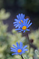 Flower, Blue - Flickr - nekonomania.jpg