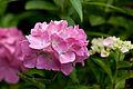 """Flower, Hydrangea """"Mme Plumecoq"""" - Flickr - nekonomania (1).jpg"""
