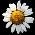 Flower (4894715609).jpg