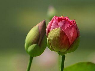 file flower buds jpeg   wikimedia commons