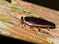 Forest Cockroach (Pseudophyllodromia sp.) (15349259250).jpg