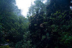 Forest in Yakushima 43.jpg