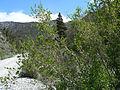 Forestiera pubescens 5.jpg