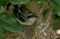 Formicivora littoralis, fêmea, prof. Sávio.png