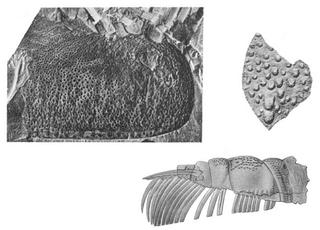 <i>Echinognathus</i> genus of arthropods (fossil)
