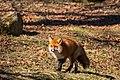 Fox (28044684426).jpg