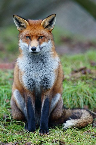 Kid Facts - Fun daily facts for kids: Red Fox