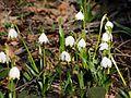 Frühlings-Knotenblume, Leucojum vernum 24.JPG