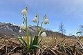 Frühlings-Knotenblume, Leucojum vernum Böhringer.JPG
