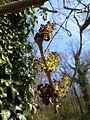 Fraxinus excelsior flowers1.JPG