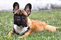 French bulldog on the grass.jpg