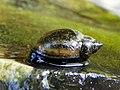 Freshwater snail (19512479744).jpg