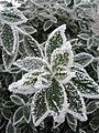 Frost on Bay Tree Leaves - geograph.org.uk - 431574.jpg