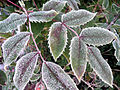 Frost on Mahonia Aquifolium.jpg