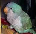 Frostie the quaker parrot enjoying a grape treat.jpg