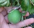Frutto passiflora incarnata.JPG