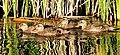 Gadwall Brood Seedskadee NWR 01 (15090314046).jpg
