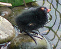 Gallinula chloropus -Common Moorhen chick.jpg