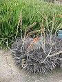 Gardenology.org-IMG 7401 hunt09jun.jpg