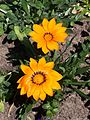 Gazania flowers 01.jpg