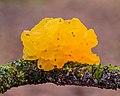 Gele trilzwam (Tremella mesenterica) op dode tak van een eik 15-01-2021. (actm.) 01.jpg