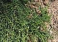 Genista pilosa 'Procumbens' kz01.jpg