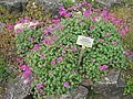 Geranium subcaulescens - Berlin Botanical Garden - IMG 8502.JPG