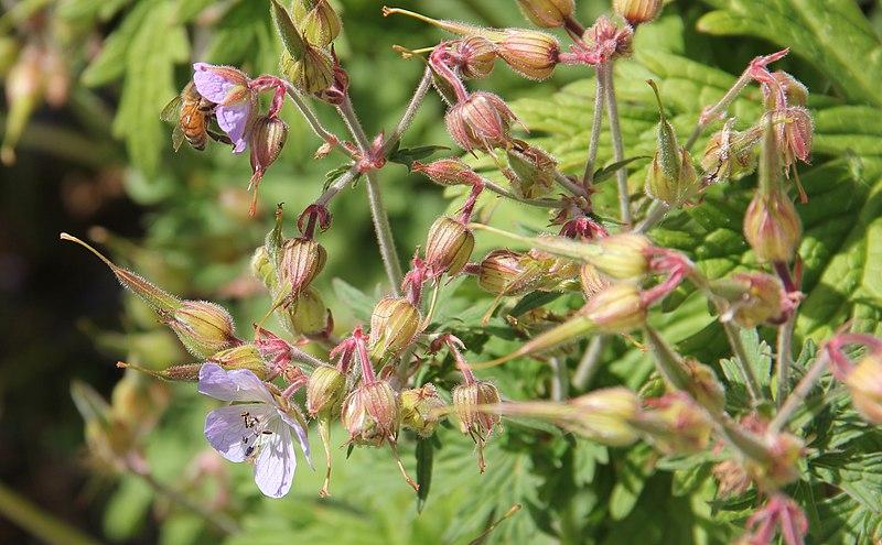 File:Geranium sylvaticum, metsäkurjenpolvi 2; Syrphidae (Finland).jpg