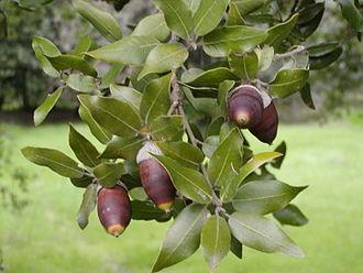 Quercus ilex - Image: Ghjandi