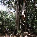 Giant Banyan Trees, Lord Howe Island, NSW, Australia.jpg