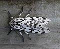 Giant Leopard Moth (Hypercompe scribonia) - Flickr - Jay Sturner (1).jpg