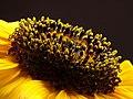 Girasol (Helianthus annuus) - Flickr - Alejandro Bayer (4).jpg