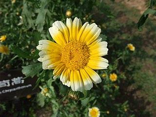 <i>Glebionis segetum</i> species of plant