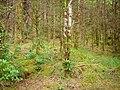 Glengarriff Forest - geograph.org.uk - 263373.jpg