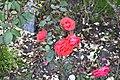 Golden Gate Park Rose Garden 6 2017-06-12.jpg